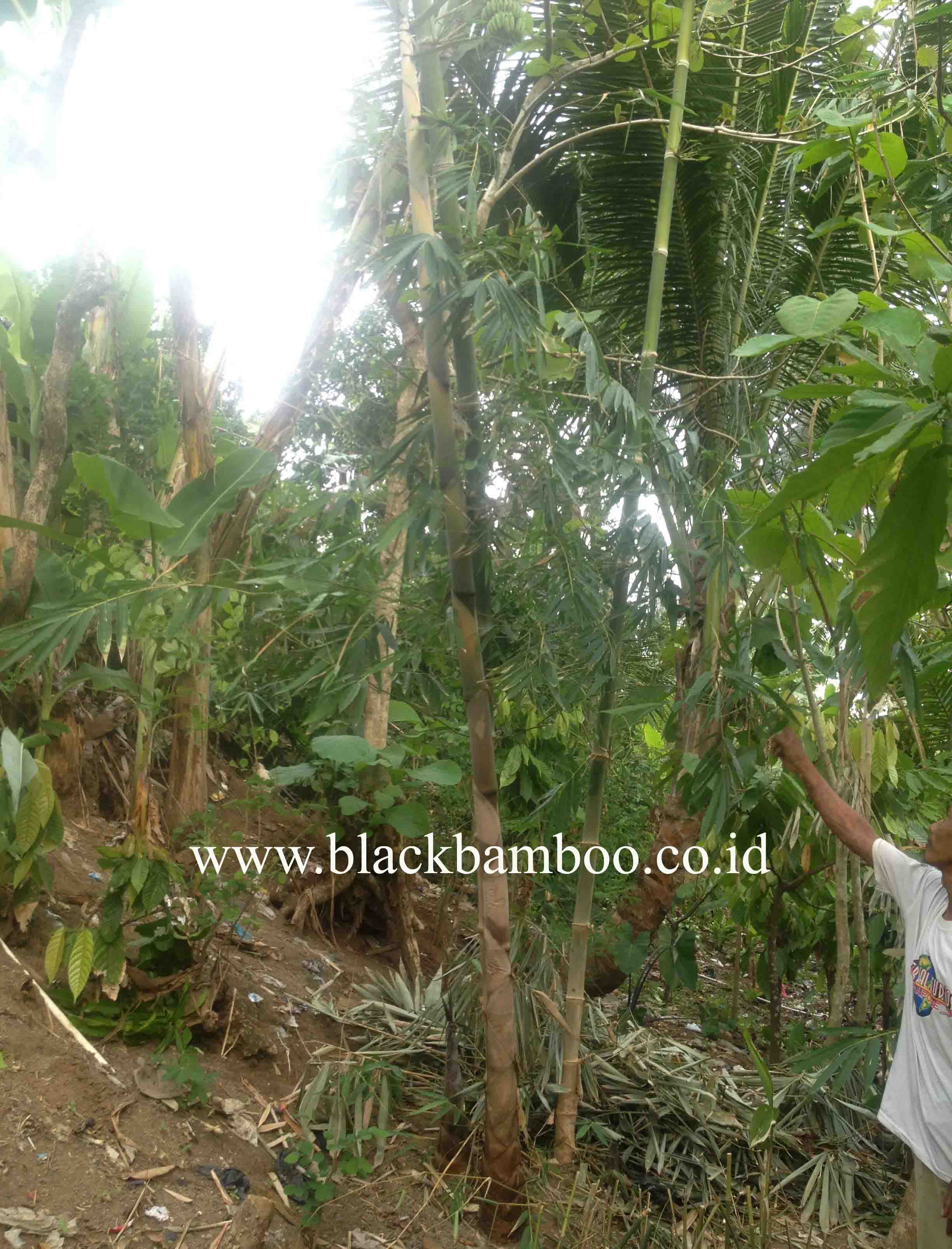 BAMBOO REPLANTATION